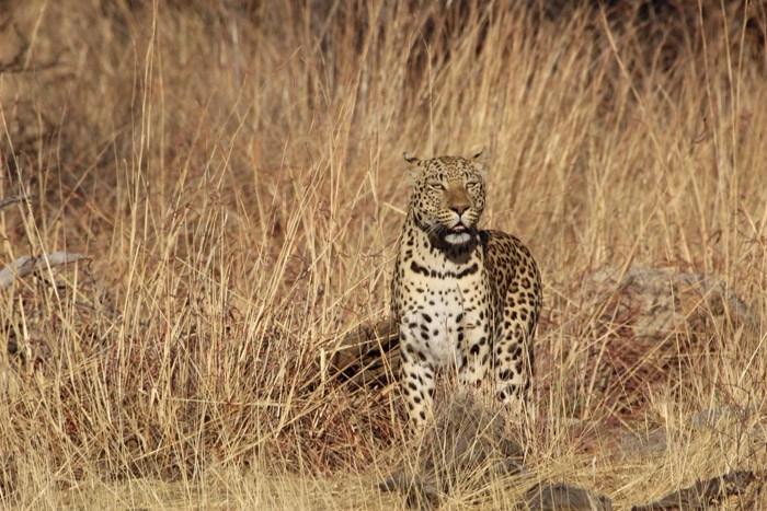 articles-content-leopard-conservation