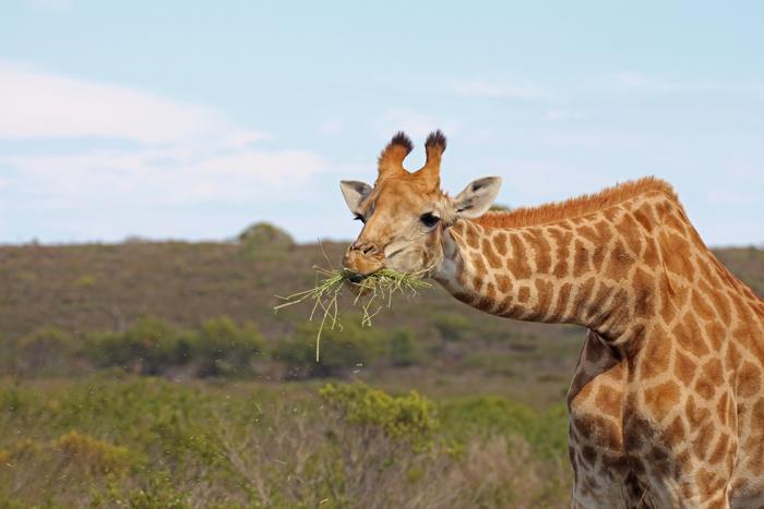 giraffe-thali-thali