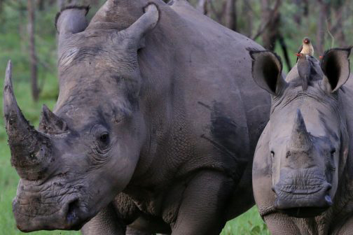 Rhino-article-south-africa