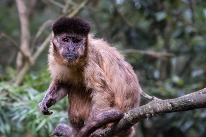 capuchin-monkeyland
