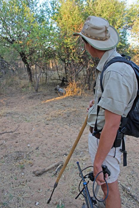 hyena-walking-safari