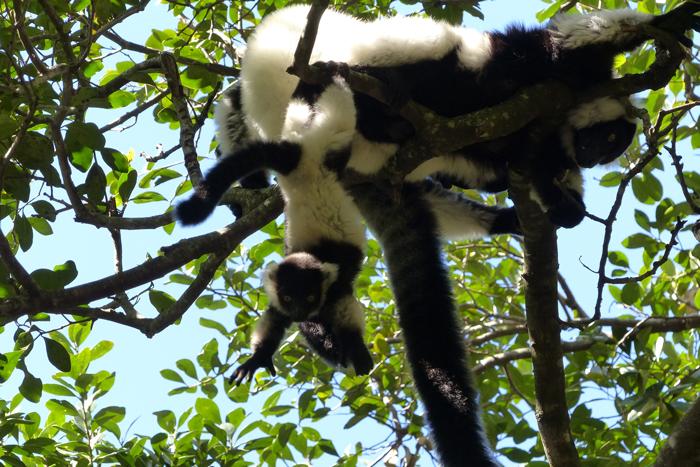 lemurs-monkeyland