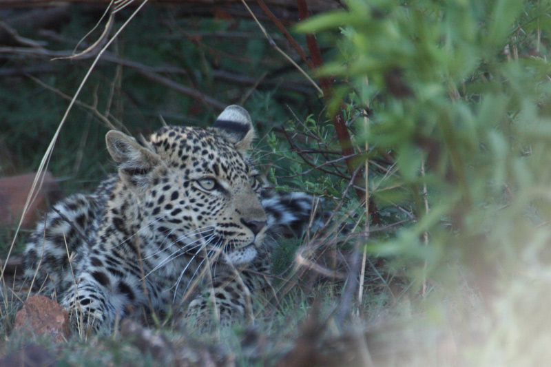 leopard-cub-pilanesberg-5-star-stories