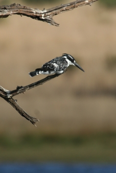 pied-kingfisher-Pilanesberg-5-Star-Stories