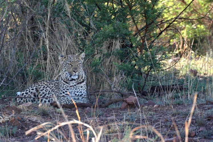 pilanesberg-leopard-5-star-stories